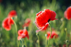 Poppy flower. In field - Papaver orientate Royalty Free Stock Image
