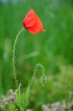 Poppy flower. Single poppy flower and a bud against blurred green background Stock Images