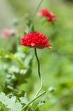 Poppy flower. Red poppy flower in bloom stock images