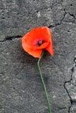 Poppy Flower Imagenes de archivo