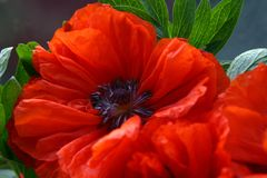 Poppy flower. Red poppy close-up Royalty Free Stock Image
