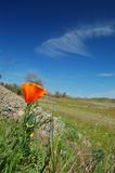 Poppy flower. Flower in a field with open blue sky Royalty Free Stock Images