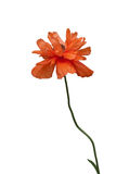 Poppy flower. Flower of a wild poppy on a white background Royalty Free Stock Photos