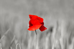 Poppy Flower Royalty Free Stock Images