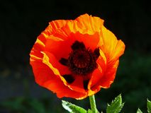 Red poppy flower. Closeup of back-lit red poppy flower in bloom stock photography