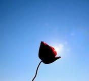 Poppy flower against morning sun Stock Images