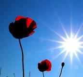 Poppy flower against morning sun Royalty Free Stock Images