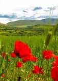 Poppy flower in Atlas mountains in Morocco stock image