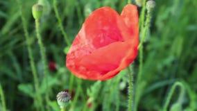Poppy flower stock video