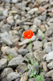Poppy flower on the background of a stone embankment. Red poppy flower on the background of a stone embankment stock images
