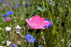 Poppy Flower in Bloei op Wildflower-Gebied Royalty-vrije Stock Fotografie