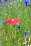 Poppy Flower in Bloei op Wildflower-Gebied Stock Fotografie