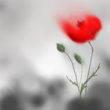 Poppy flower blooming red on grey background. Digital hand painting. Royalty Free Stock Images
