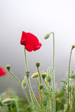 Poppy flower blossom Stock Images