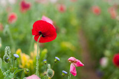 Poppy flower blossom Royalty Free Stock Images