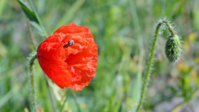 Poppy flower and blue-bonnet (cornflower) closeup waving in the wind, stock footage