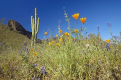 Poppy flower in blue sky, saguaro cactus and desert flowers in spring at Picacho Peak State Park north of Tucson, AZ Stock Photo