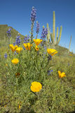 Poppy flower in blue sky, saguaro cactus and desert flowers in spring at Picacho Peak State Park north of Tucson, AZ Royalty Free Stock Photography