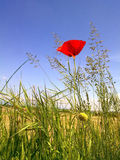 Poppy flower. With a blue sky in a sunny day on the field Royalty Free Stock Photography