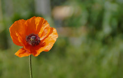 Poppy flower. On blurred nature background stock image