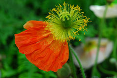 Poppy Flower Boll Royalty Free Stock Photo