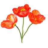 Poppy flower bouquet. Watercolor image of bouquet of poppy flowers Stock Image