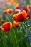 Poppy flower on a bright floral background. In early morning Royalty Free Stock Photography