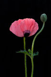 A poppy and flower-bud Stock Images