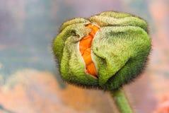 Poppy flower bud Stock Image
