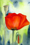 Poppy Flower, Bud and Capsule. Watercolour painting on artist paper, created and painted by the photographer Stock Photo