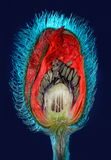 Poppy flower bud cut in half. With colored lighting Stock Images