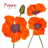 Poppy flower and bud Royalty Free Stock Photos