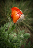 Poppy flower and buds Stock Image