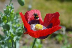 Poppy flower with bumblebee Royalty Free Stock Images