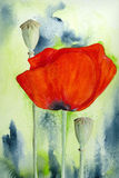 Poppy Flower and Capsule. Watercolour painting on artist paper, created and painted by the photographer Stock Photos