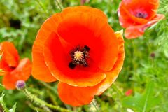 Poppy, Flower, Close, Red, Macro Royalty Free Stock Photos