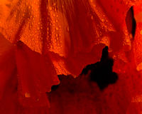 Poppy flower close-up Royalty Free Stock Image