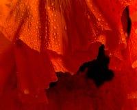 Poppy flower close-up Royalty Free Stock Image