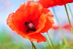Poppy flower close up against the sky Royalty Free Stock Photography