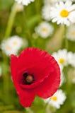 Poppy flower. Royalty Free Stock Photo