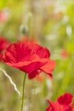 Poppy flower. Royalty Free Stock Image