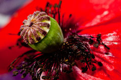 Poppy flower close-up inside Royalty Free Stock Photography
