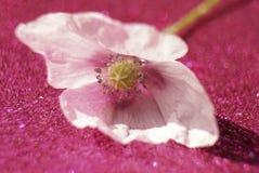 Poppy pink flower bokeh background blossom macro glitter. Poppy flower close-up pink background glitter macro light beautiful royalty free stock photo