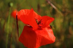 Poppy flower close up. Red poppy flower close up on a sunny day stock photos