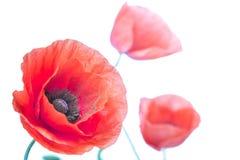 Poppy flower close-up Royalty Free Stock Photos
