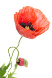 Poppy flower close-up Royalty Free Stock Images
