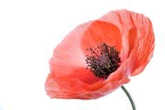 Poppy flower close-up Stock Image