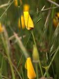 Poppy Flower Closed selvagem amarela imagem de stock royalty free