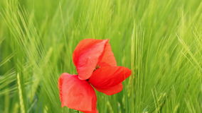 Poppy flower closeup nature stock video footage