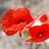 Poppy flower closeup. Spring. Stock Photos